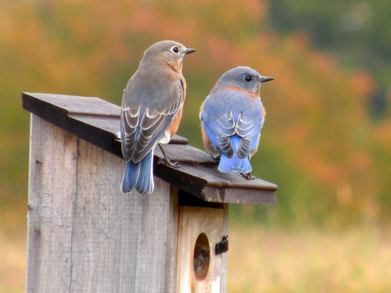 Male and female bluebirds on a bird house.